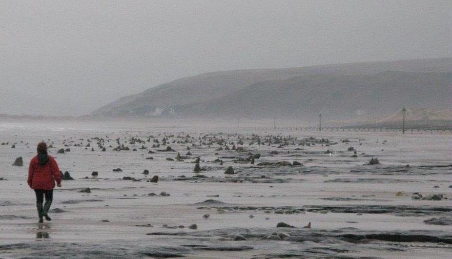 The stumps of prehistoric oak and pine trees at Borth, dating to the Neolithic and Bronze Ages