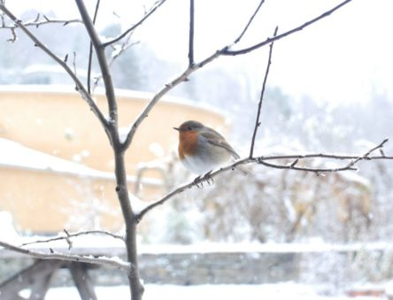 robin in winter at CAT