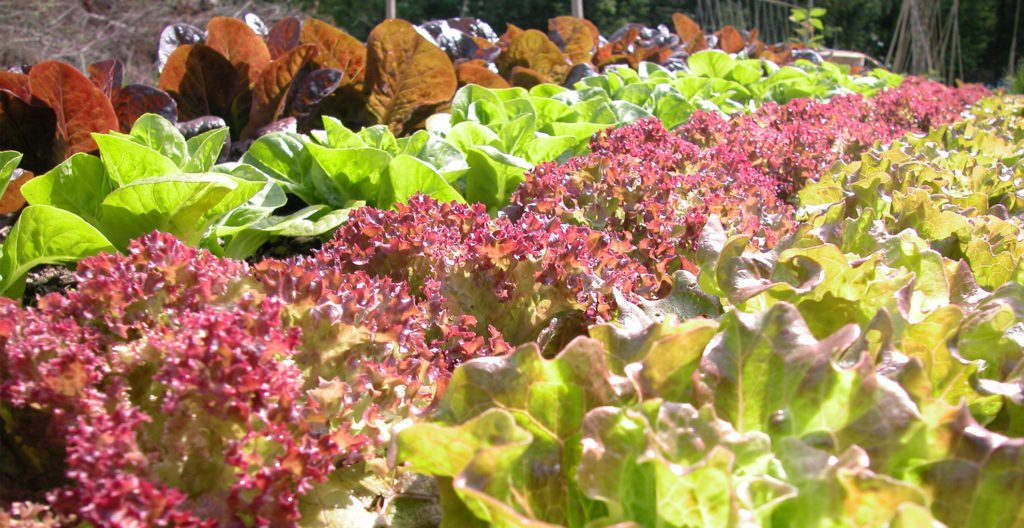 growing lettuce in the CAT organic gardens