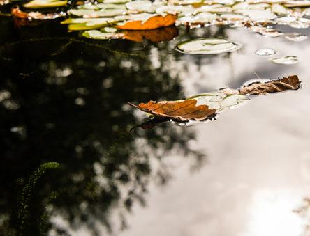 Leaves on pond
