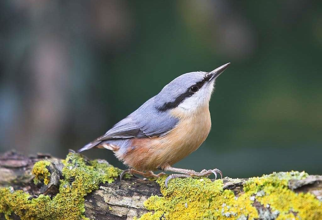 Nuthatch at CAT