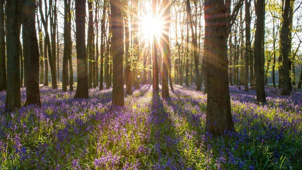 Sun shining through bluebell woods