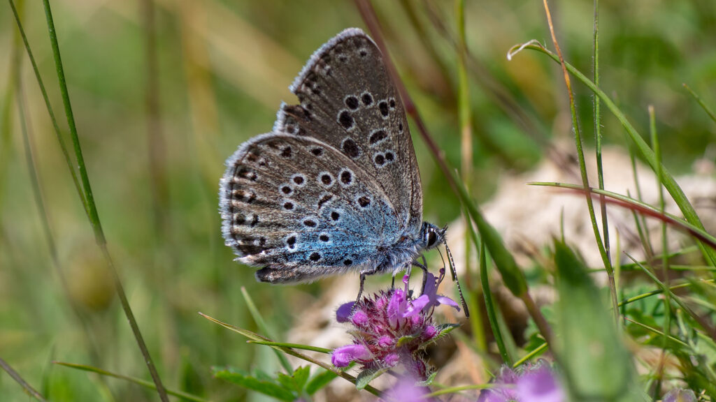 Large blue (Maculinea arion) nectaring.