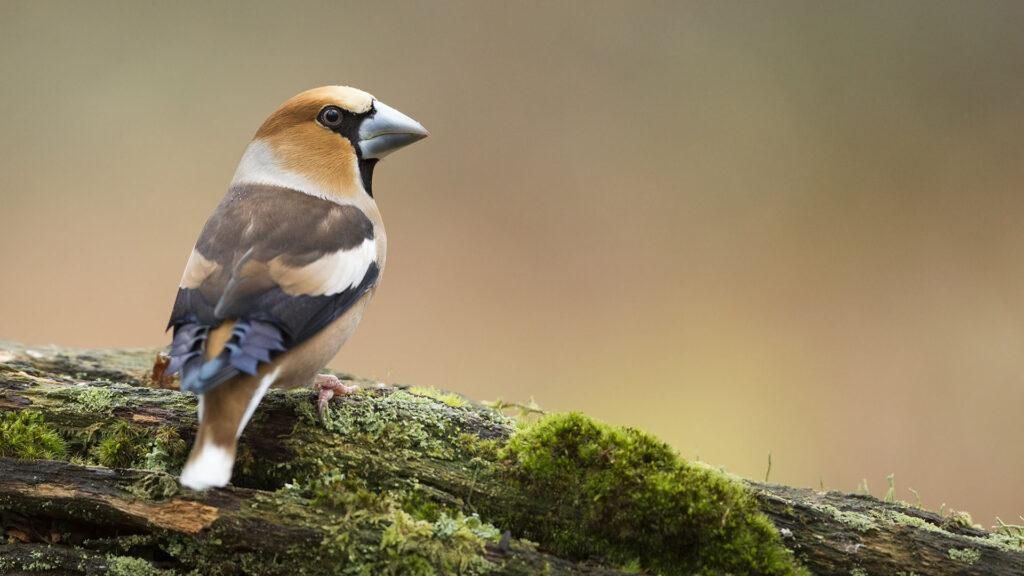 Male Hawfinch
