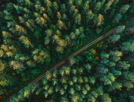 Pine forest from above