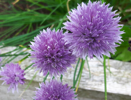 Bee and chive flowers