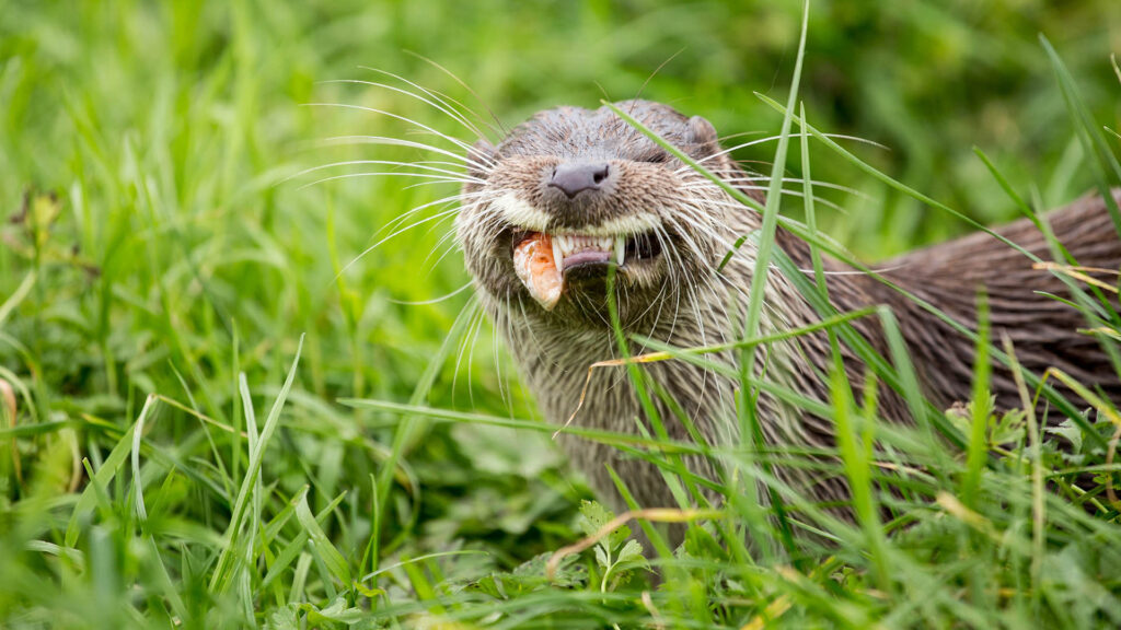 Otters are now found in every British county
